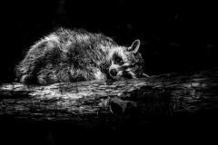 Tierfotografie: Birgit Rilk - Waschbär