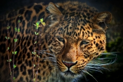 Tierfotografie: Klaus-Peter Volkmann - Leopard