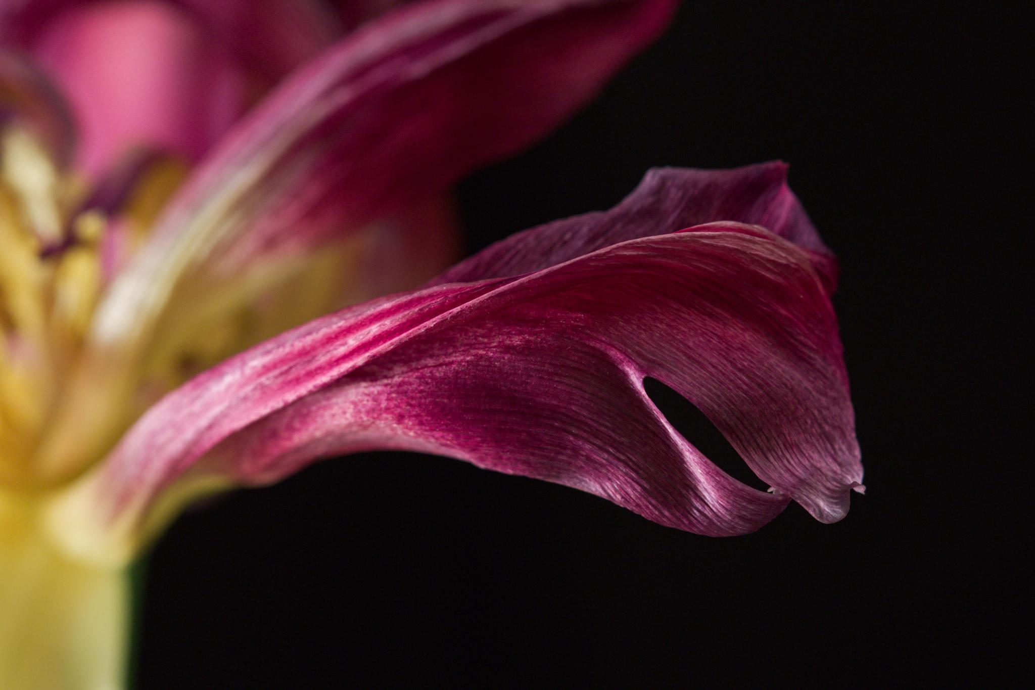 Tulpendetail (Foto: Alois Komenda)