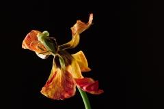 Tulpe II (Foto: Alois Komenda)