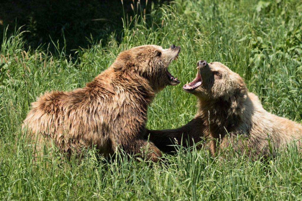 Bären (P. Schreyer)