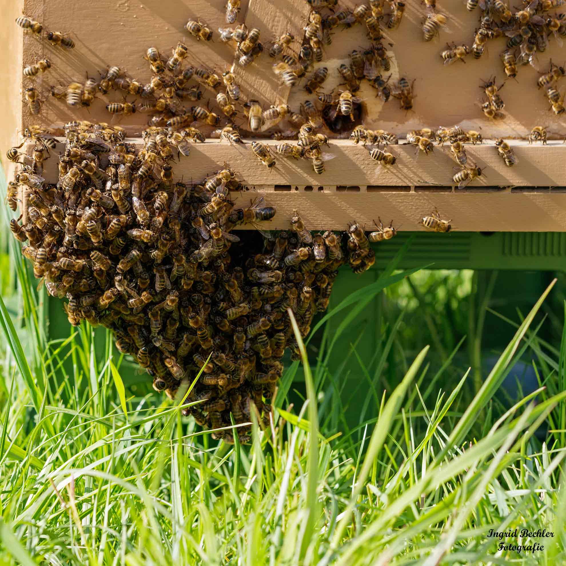 Ein Bienenvolk am Bienenstock (Foto: Ingrid Bechler)