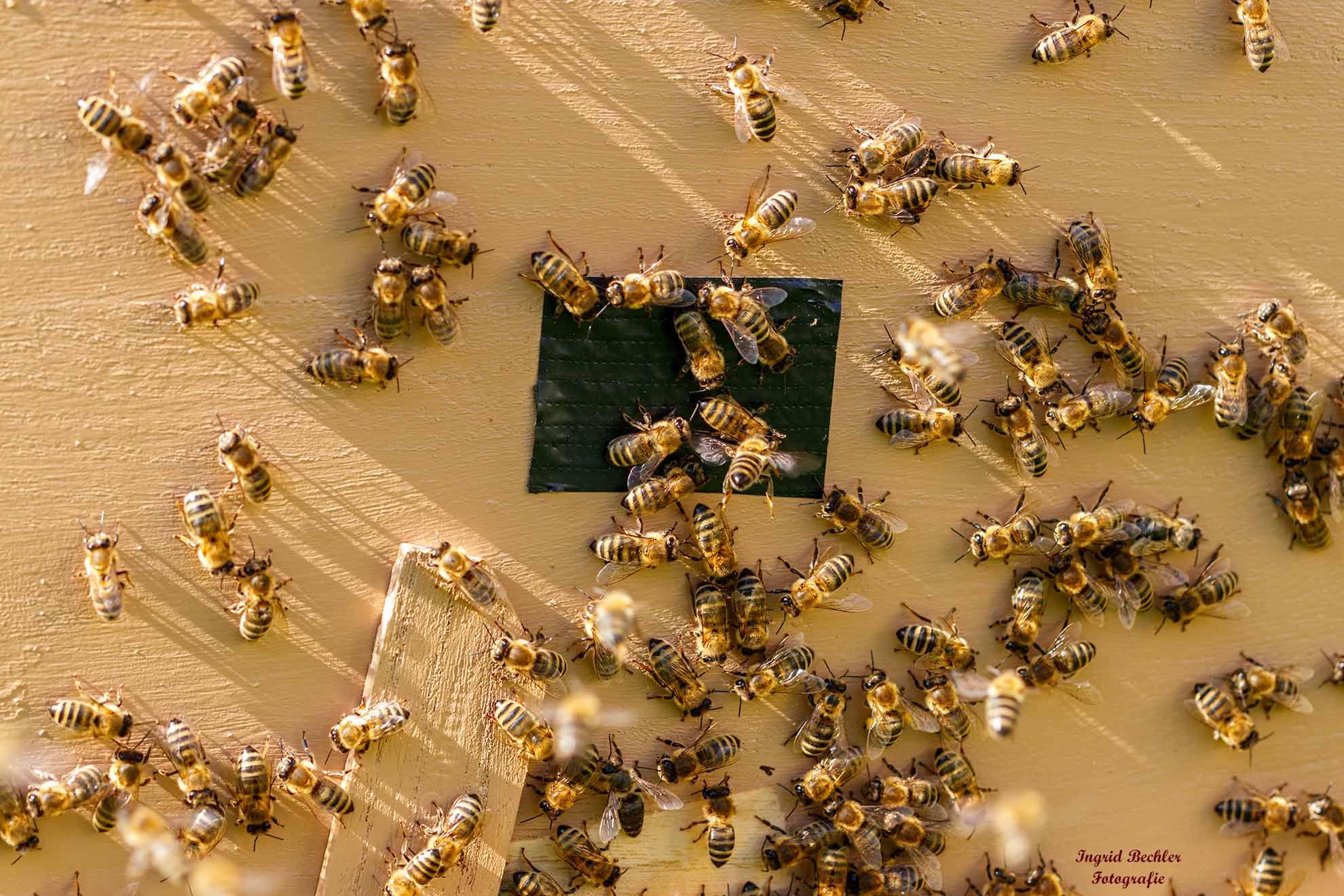 Emsige Honigbienen am Bienenstock (Foto: Ingrid Bechler)