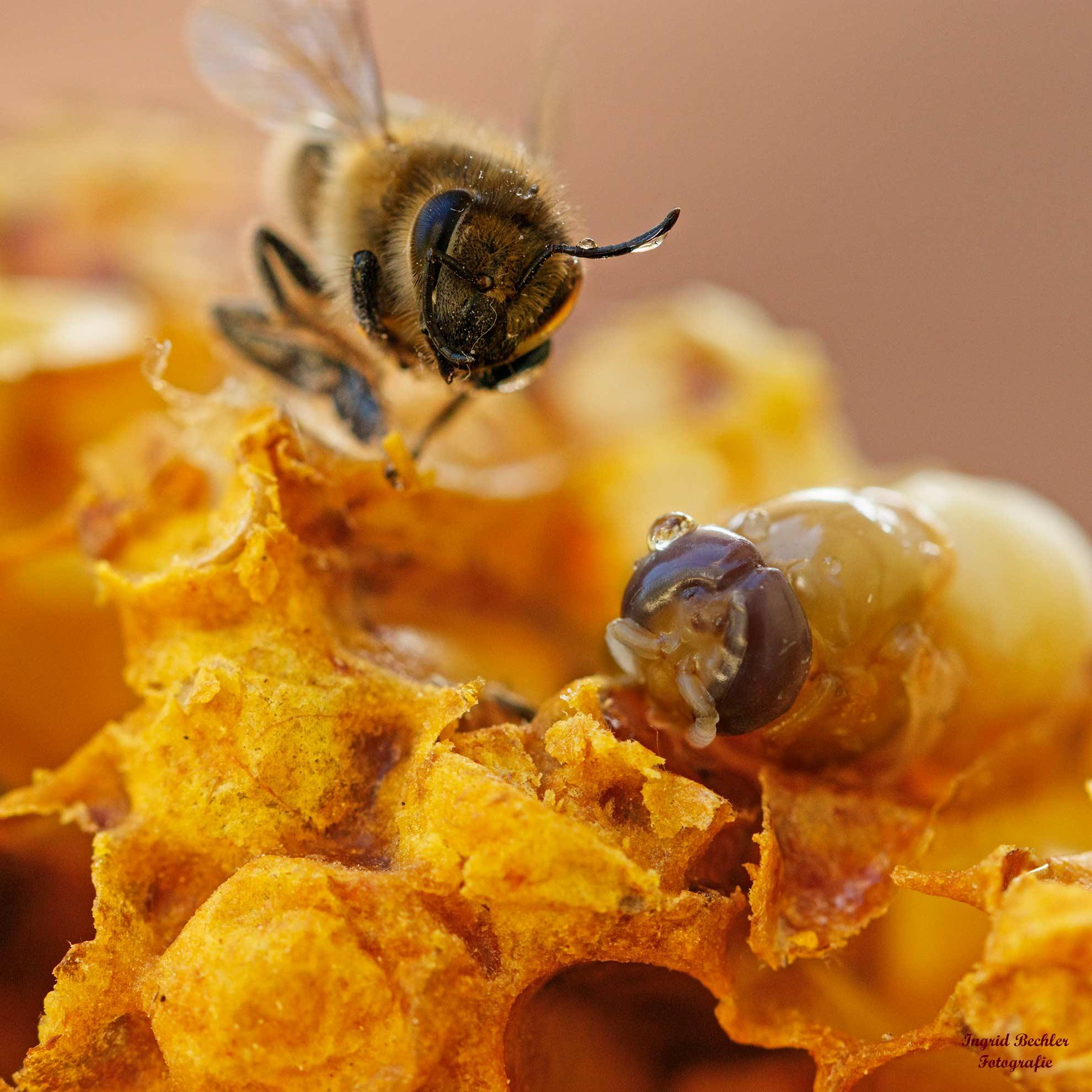Bienenlarven beim Schlüpfen (Foto: Ingrid Bechler)