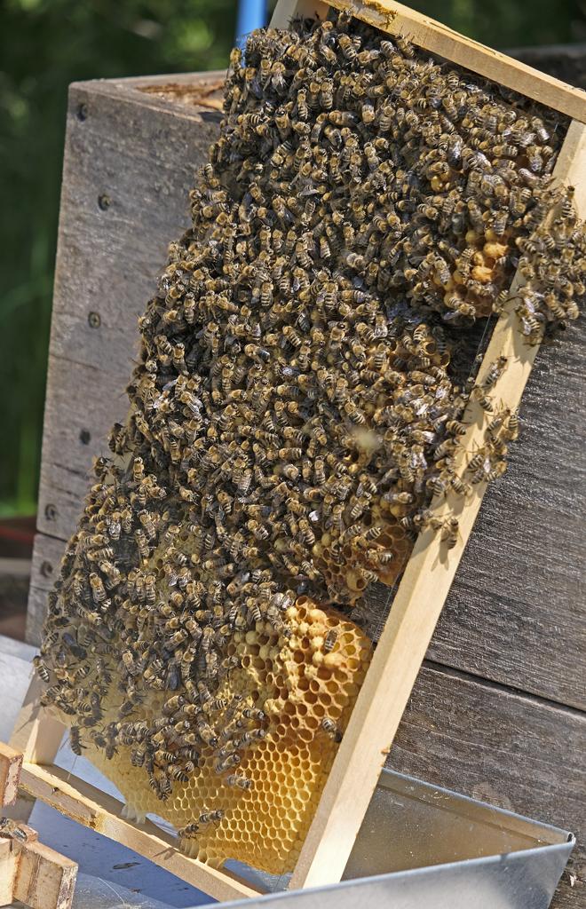 Honigbienen an einem Wabenrähmchen (Foto: Karlheinz Steinberger)