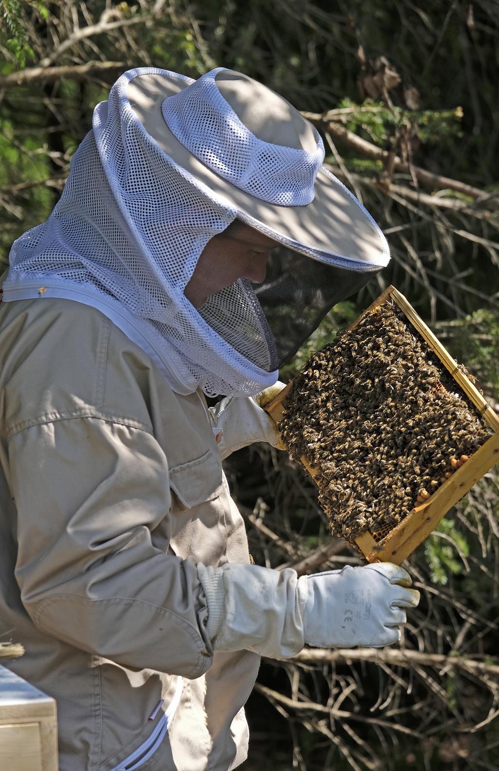 Ein Imker überprüft die Honigwaben eines Bienenvolks (Foto: Karlheinz Steinberger)