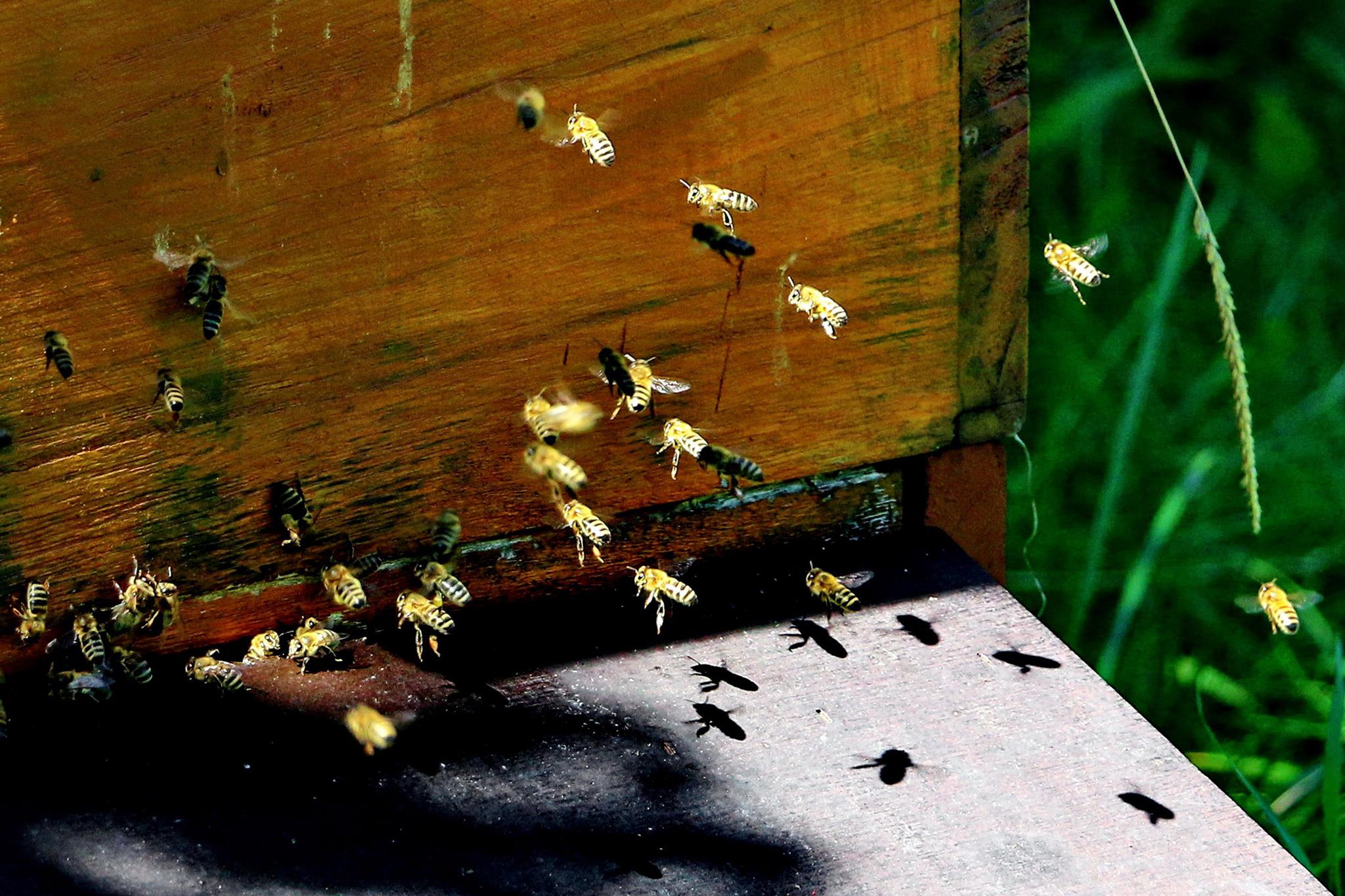 Honigbienen beim Anflug auf den Bienenstock (Foto: Klaus-Peter Volkmann)