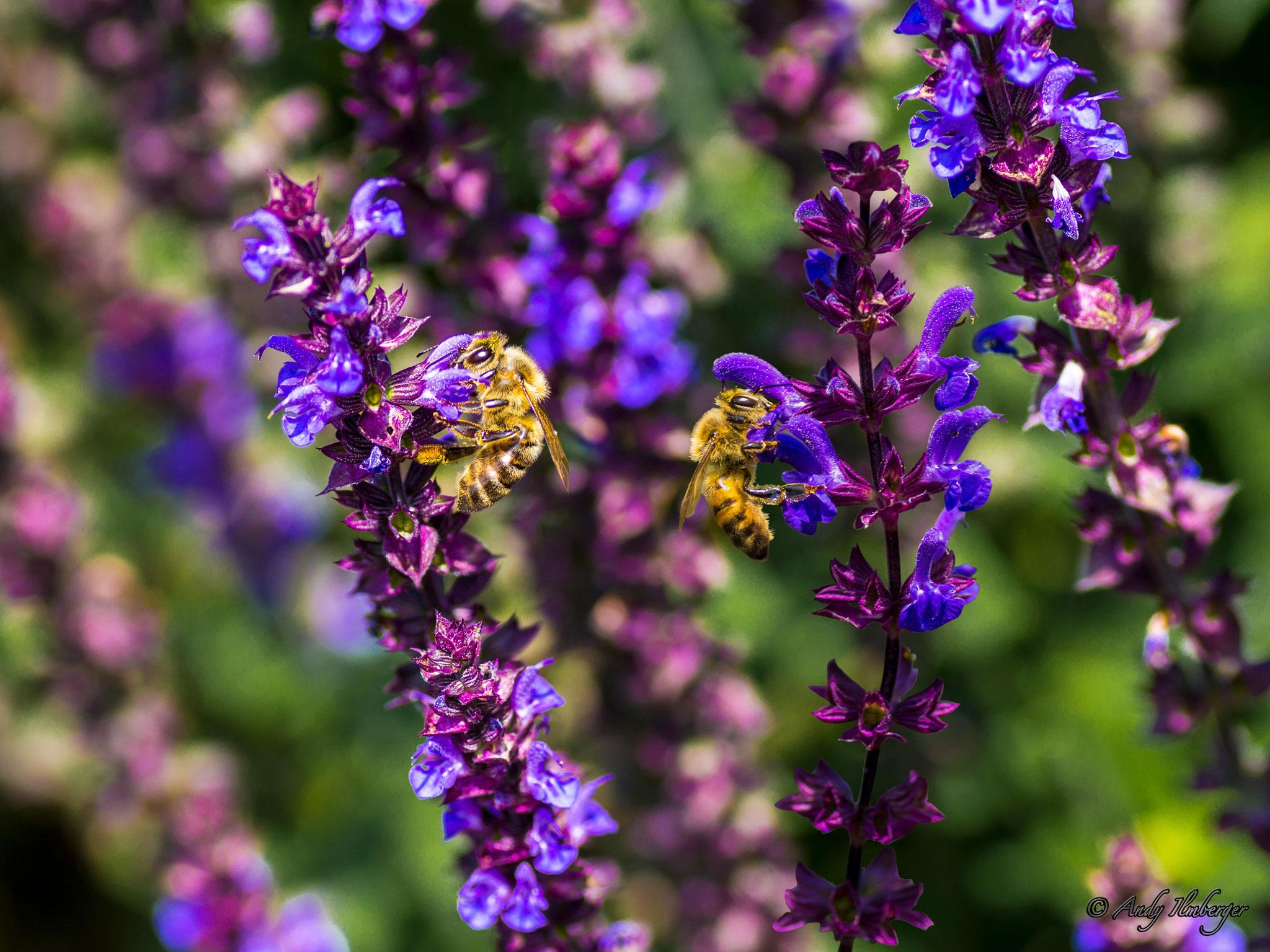 Honigbienen beim Pollensammeln auf Salbeiblüten (Foto: Andy Ilmberger)