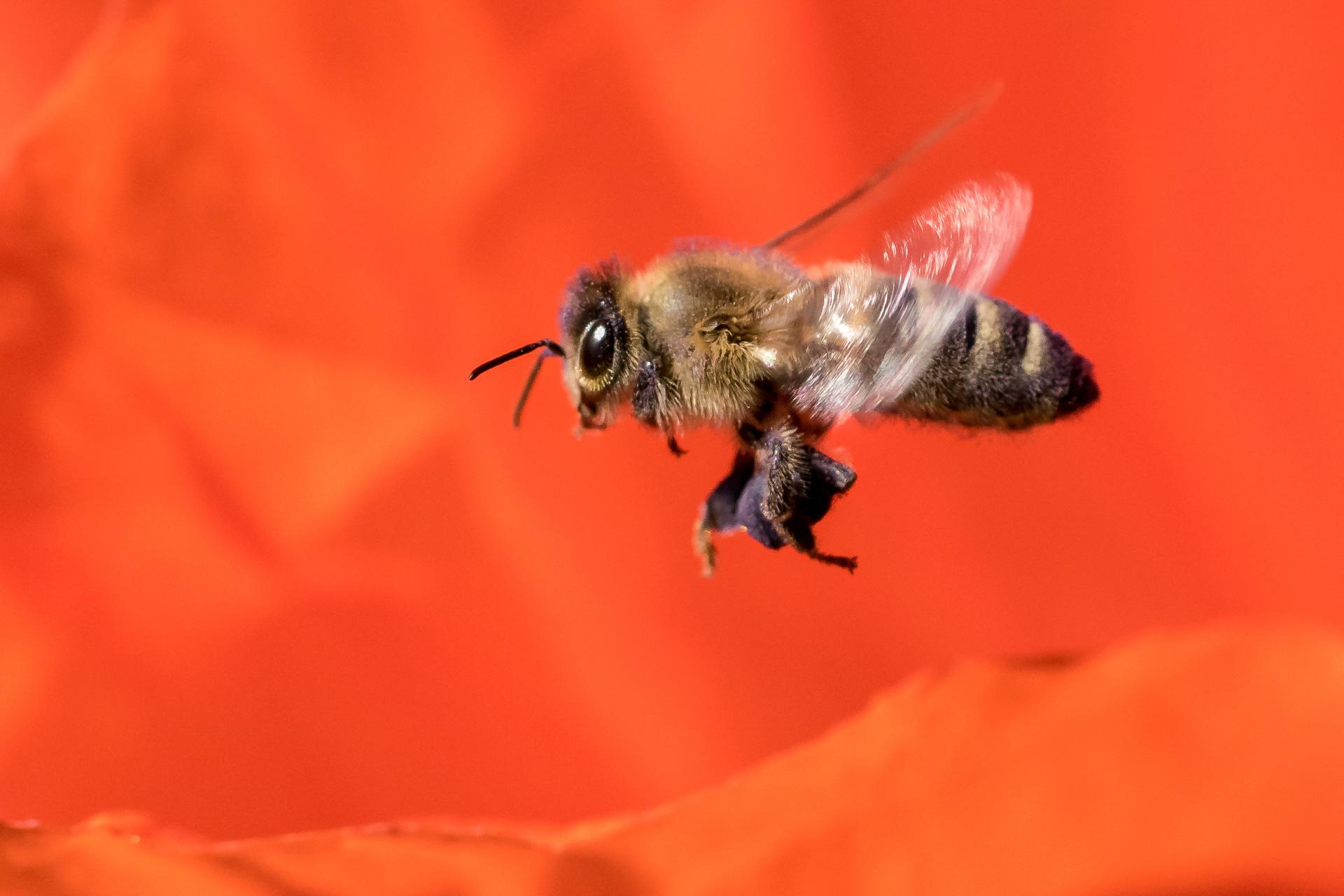 Honigbiene im Landeanflug auf eine Blüte (Foto: Peter Schreyer)