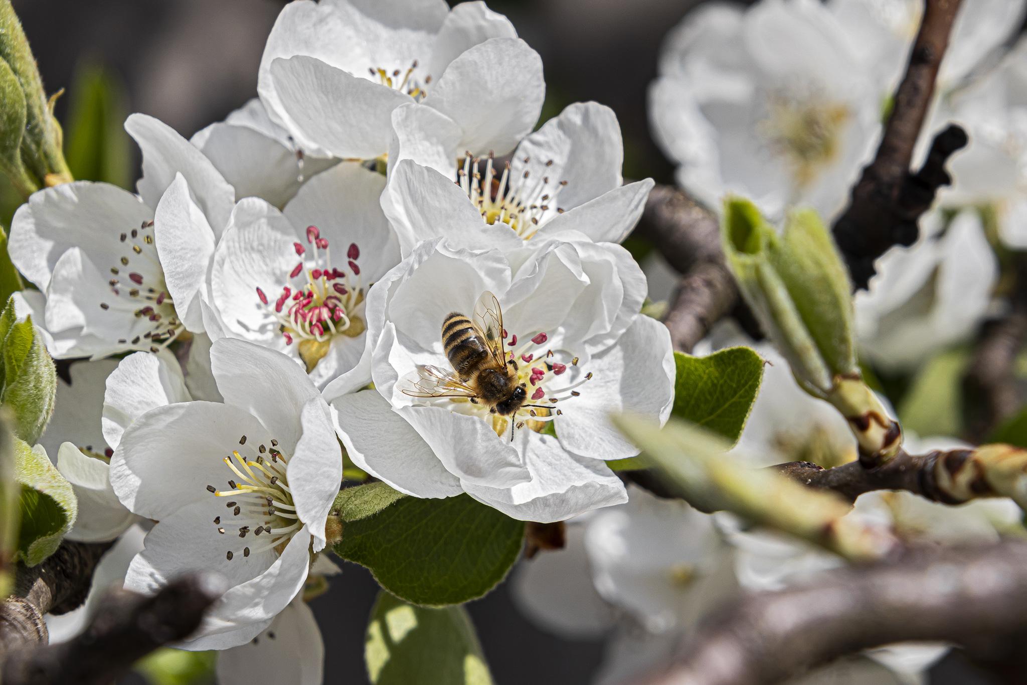 Biene auf einer Kirschblüte (Foto: Fabian Ibelherr)