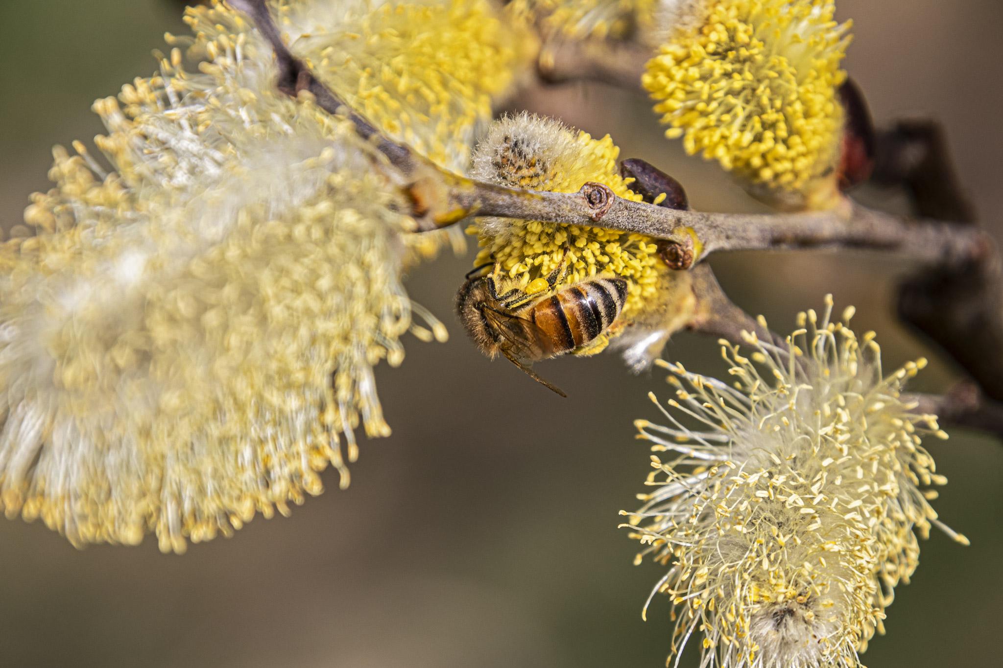 Eine Biene beim Pollensammeln auf einem Palmkätzchen (Foto: Fabian Ibelherr)