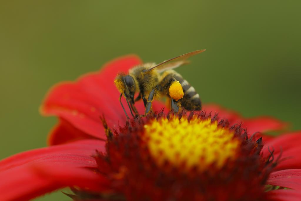 Honigbiene mit Pollensäckchen (Foto: Karlheinz Steinberger)