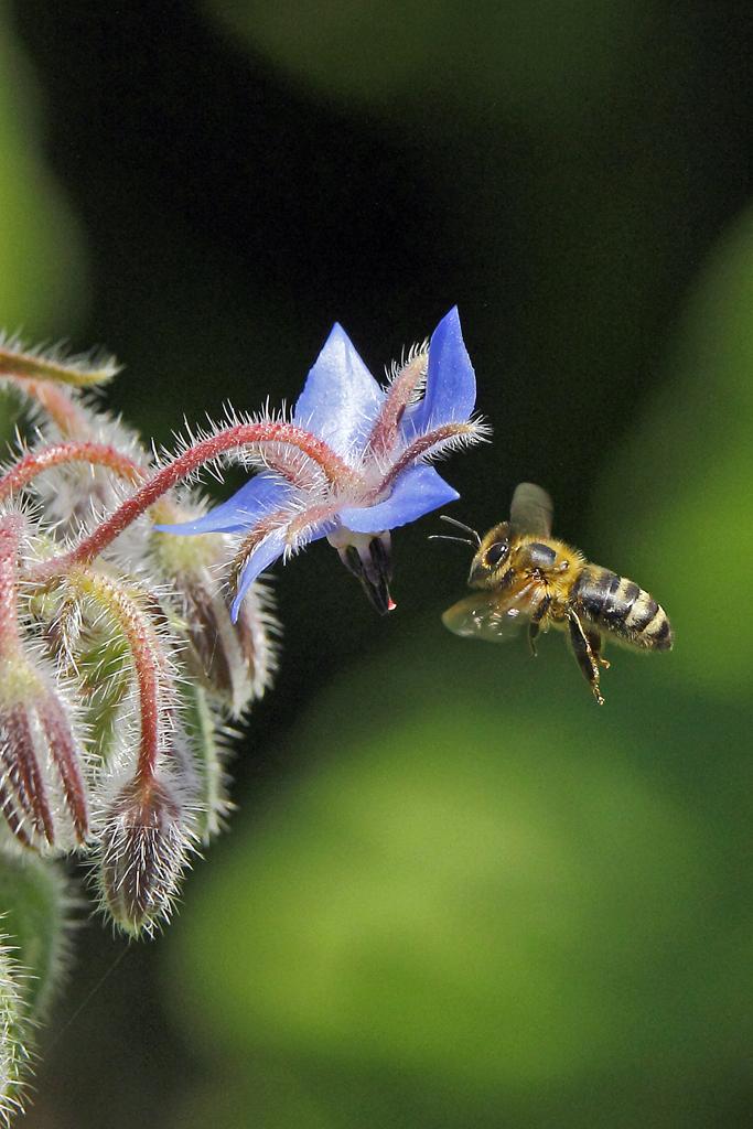 Honigbiene auf einer Boretschblüte (Foto: Karlheinz Steinberger)