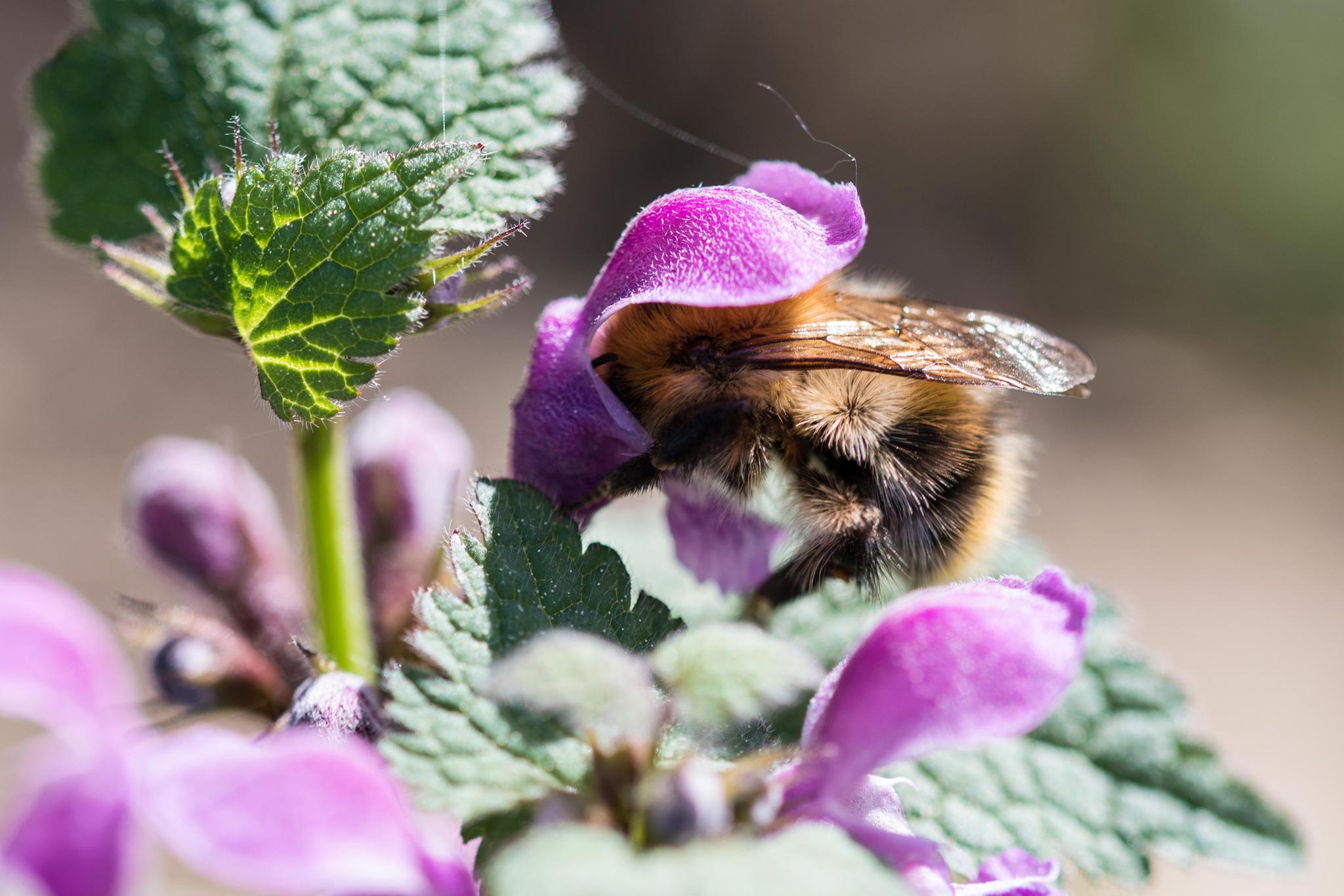 Pelzbiene in einer Blüte (Foto: Steffi Linke)