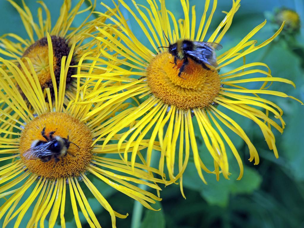 Hummeln auf Alant-Blüten (Foto: Manfred Wegner)