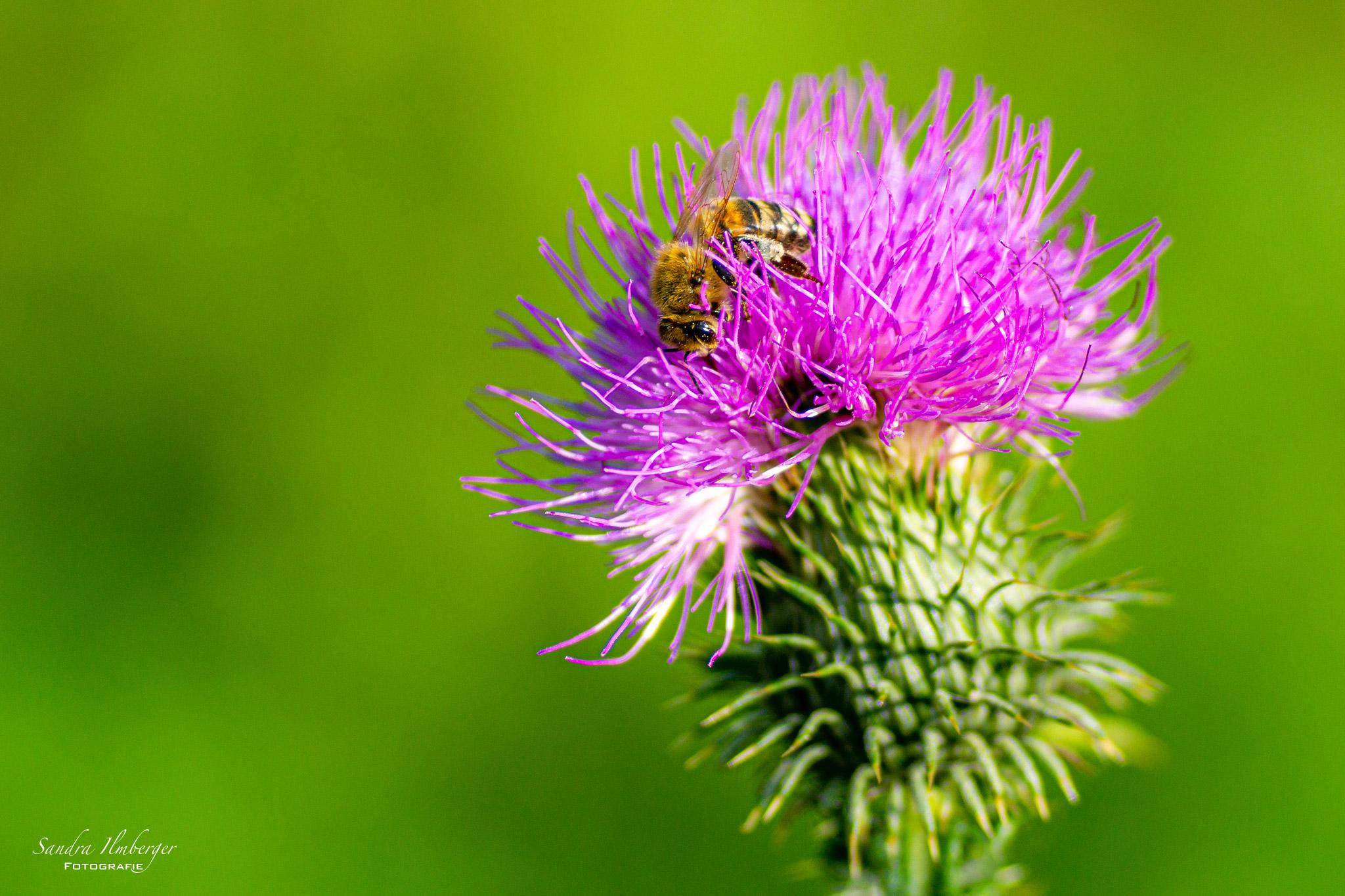 Honigbiene auf einer Distelblüte (Foto: Sandra Ilmberger)