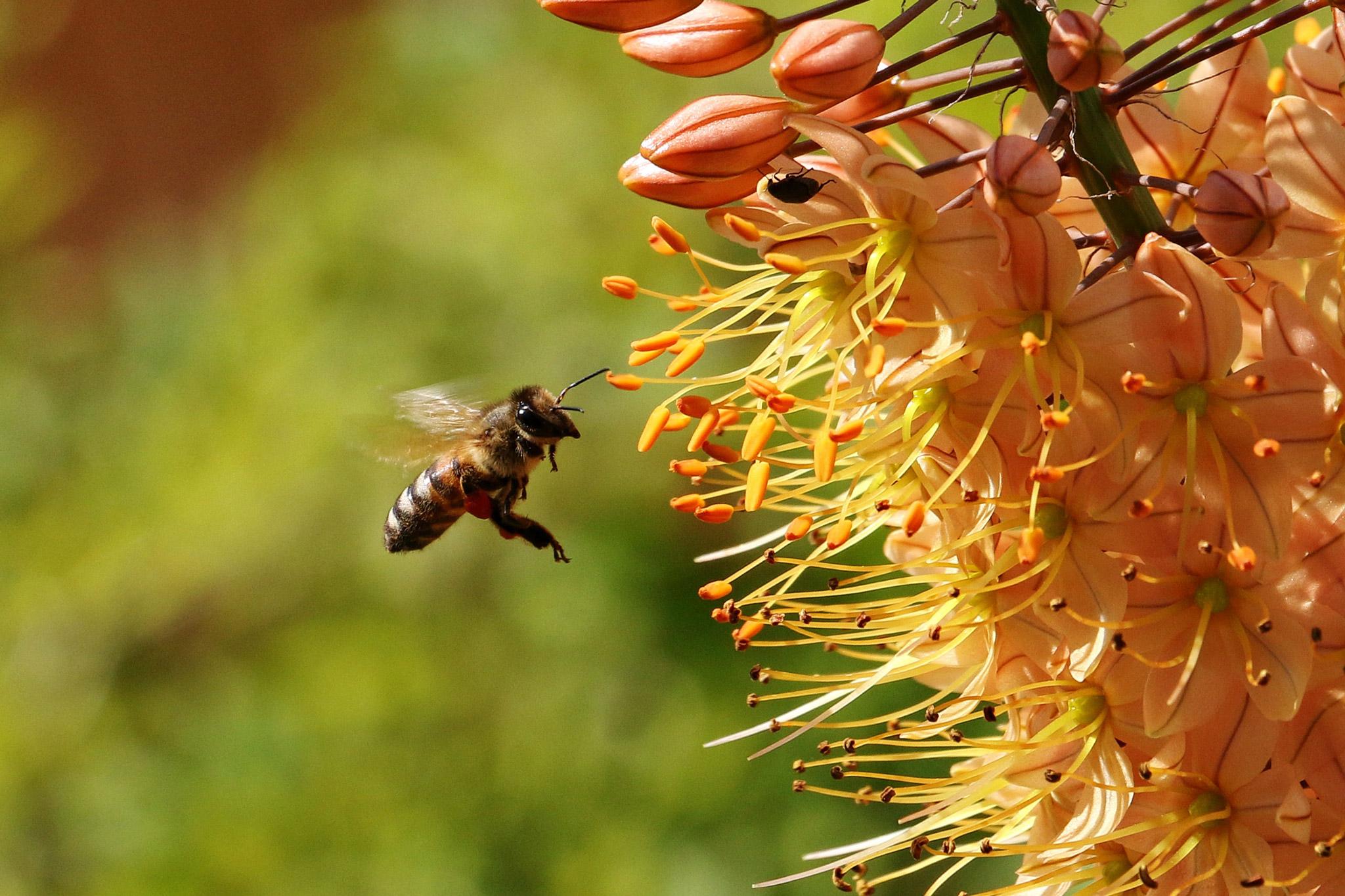 Honigbiene beim Sammelflug (Foto: Klaus-Peter Volkmann)