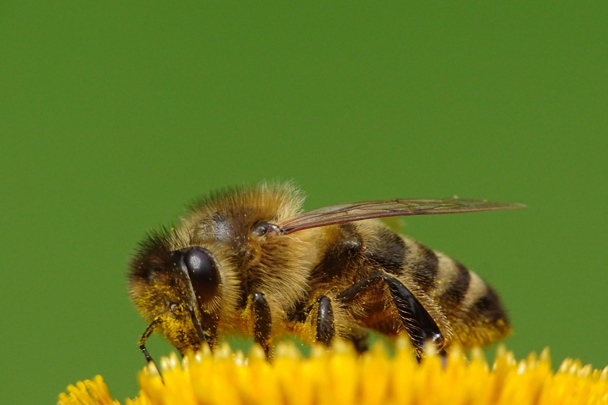 Honigbiene sammelt Blütenstaub (Foto: Hans Werner)