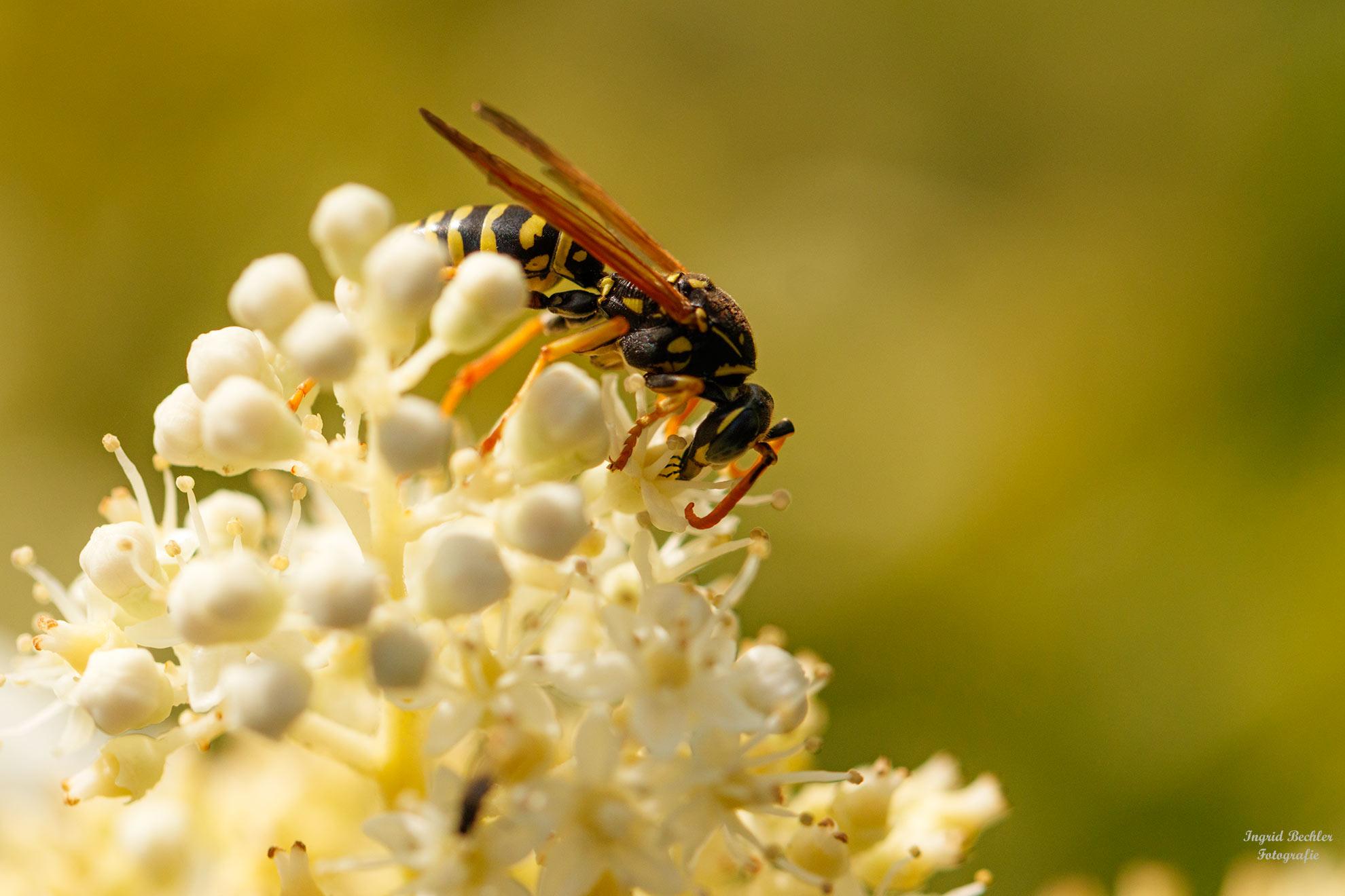 Eine Deutsche Wespe bei der Nahrungsaufnahme (Foto: Ingrid Bechler)
