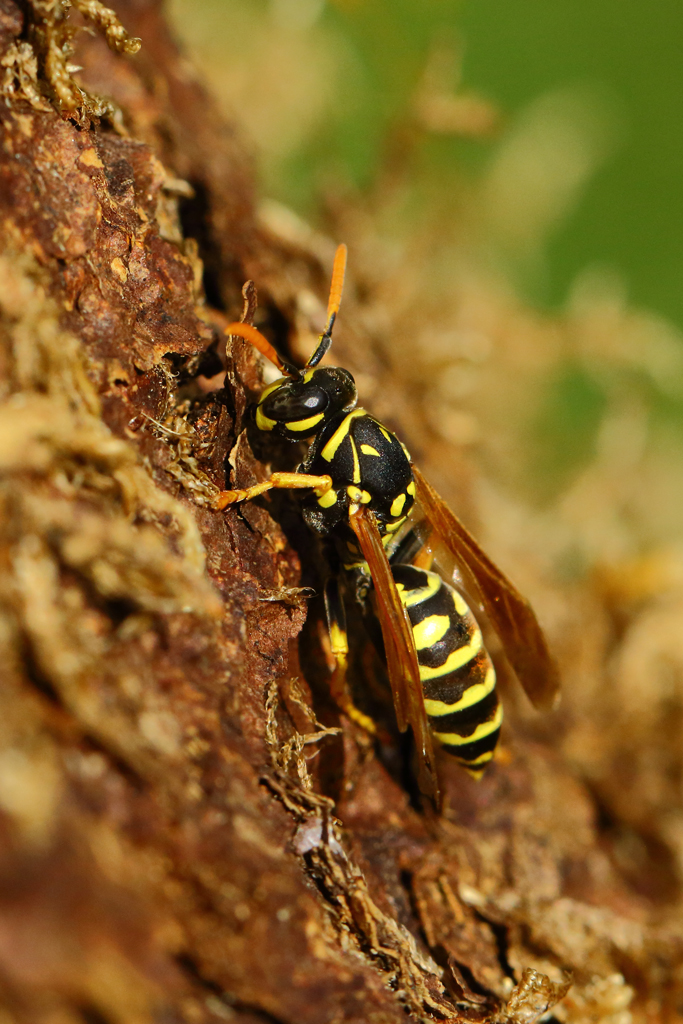 Eine Arbeiterin (Deutsche Wespe) raspelt Holz für den Nestbau (Foto: Karlheinz Steinberger)