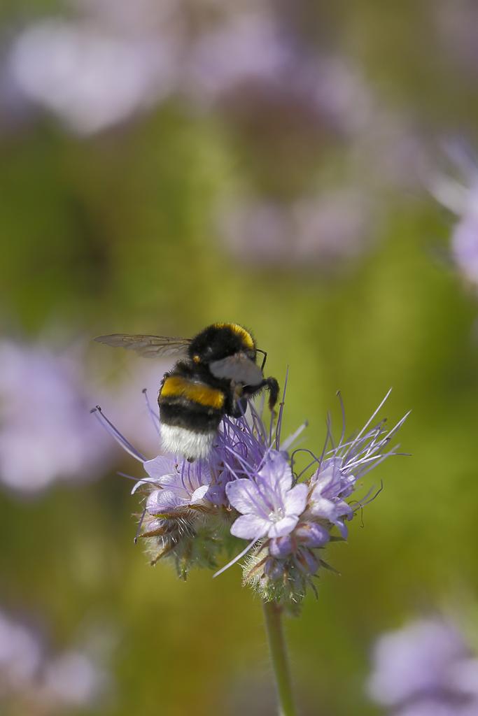 Eine Erdhummel beim Pollensammeln in einer Bienenfreund-Blüte (Foto: Karlheinz Steinberger)