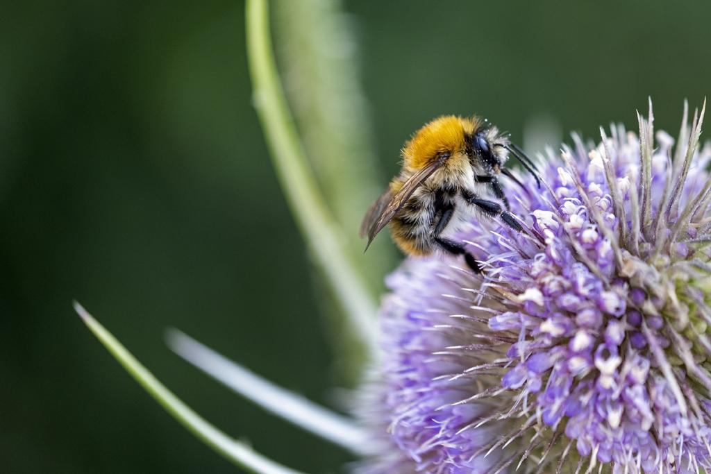 Eine Gemeine Pelzbiene beim Sammeln von Blütenstaub (Foto: Karlheinz Steinberger)
