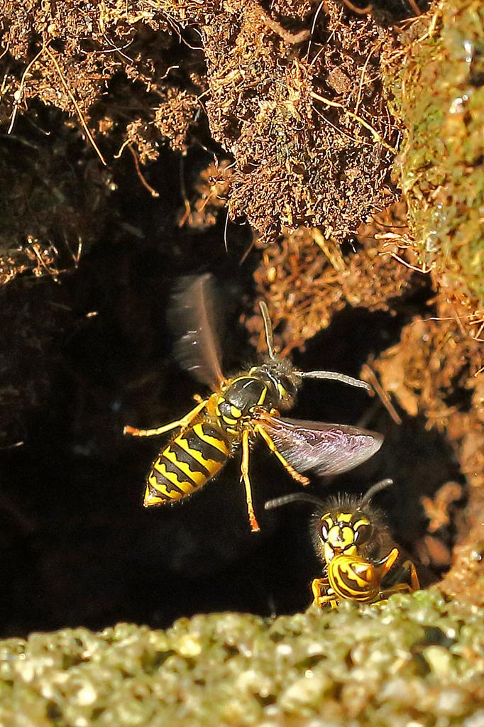 Die Gemeine Wespe beim Anflug auf eine Höhle (Foto: Karlheinz Steinberger)