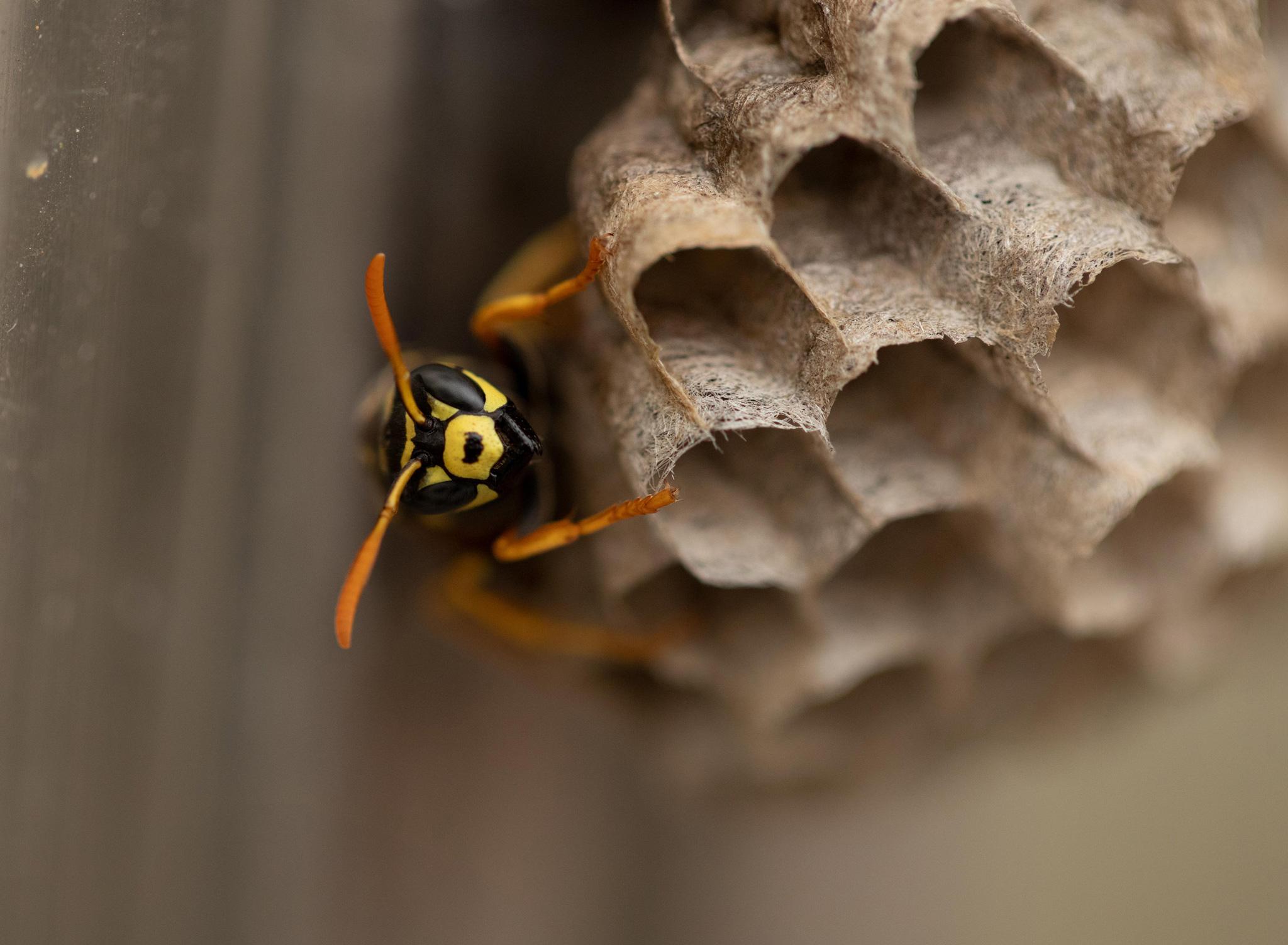 Eine Wespe auf der Wabe eines Wespennestes (Foto: Klaus Rühling)