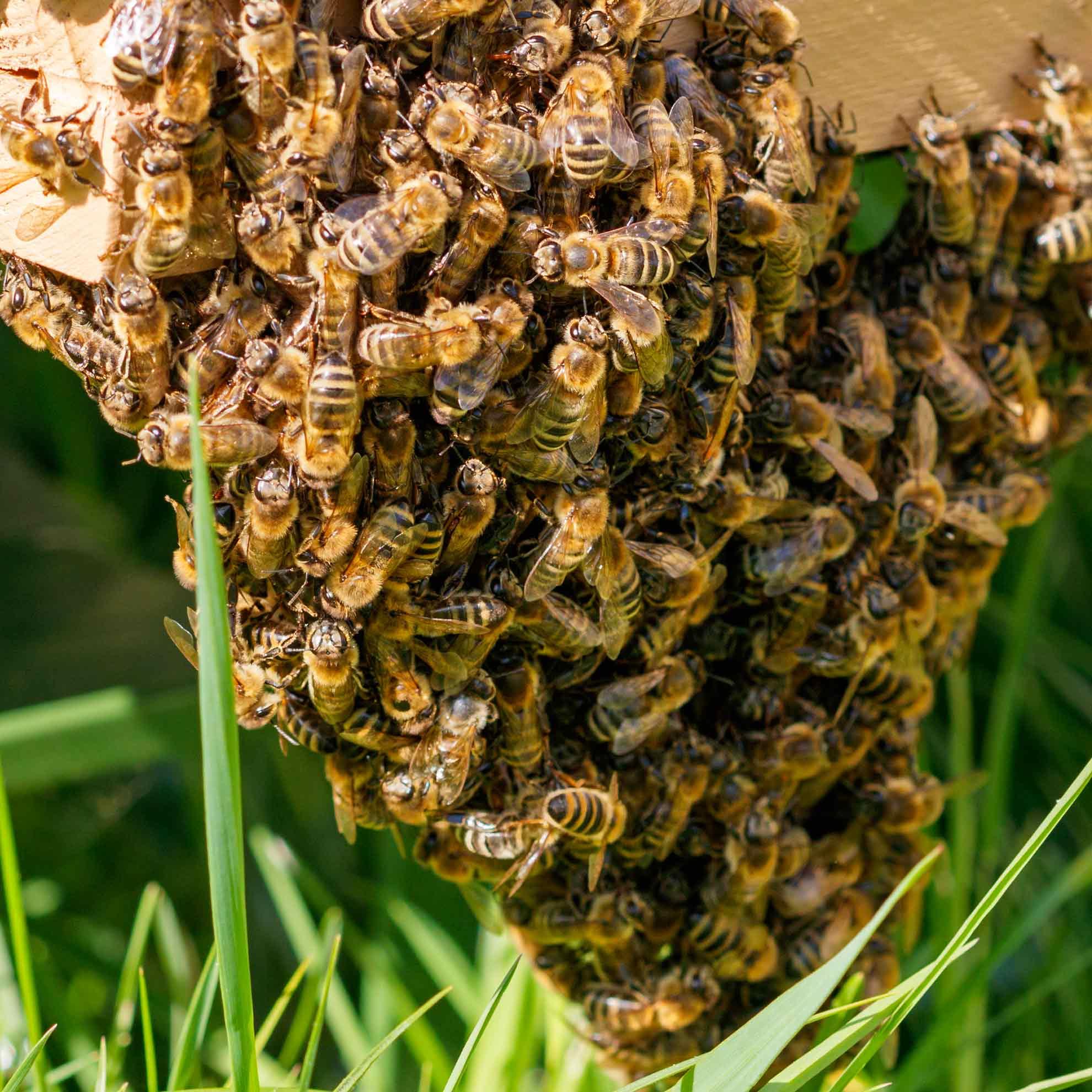 Ein Bienenschwarm am Bienenstock (Foto: Ingrid Bechler)