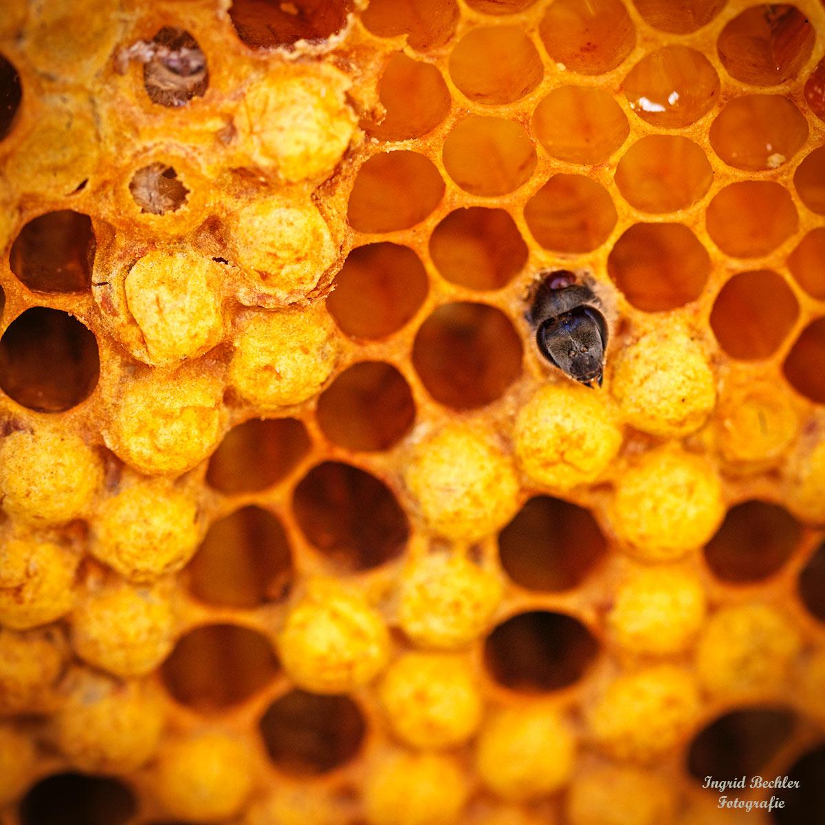 Die Zellen mit Pollen befinden sich dicht an den Brutzellen (Foto: Ingrid Bechler)