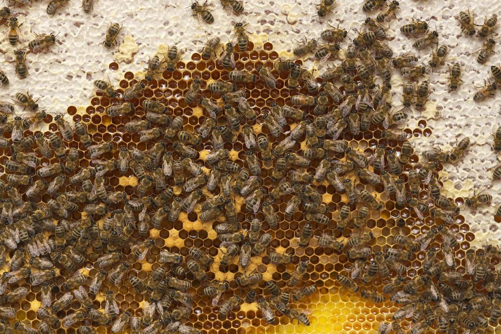 Bienenwabe mit teilweise verdeckelten Honigzellen (Foto: Karlheinz Steinberger)