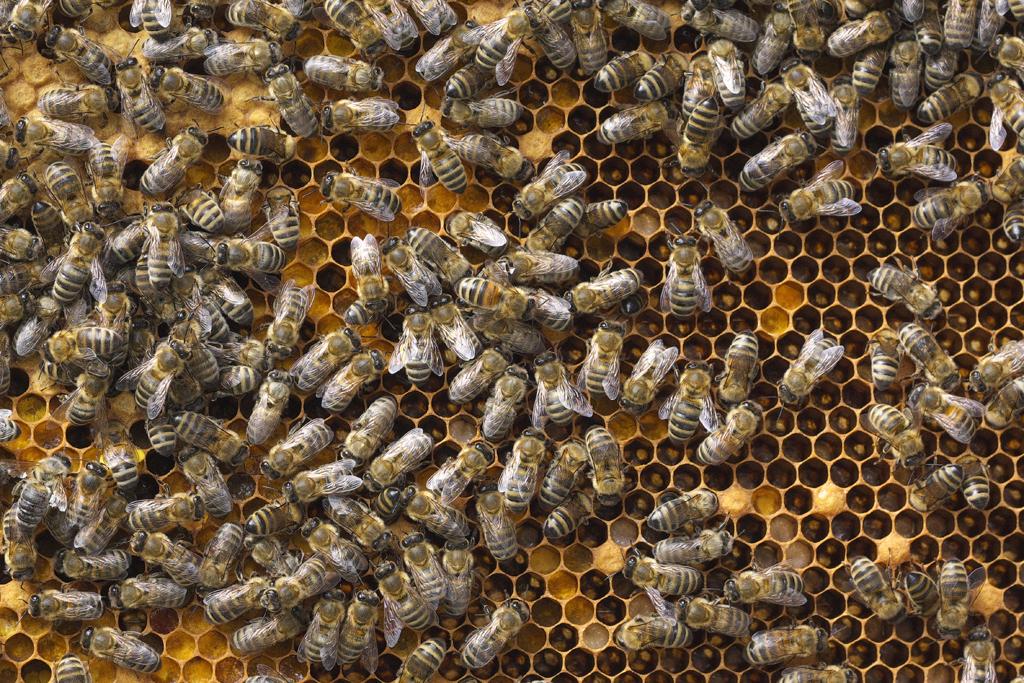 Bienenwabe mit Honigbienen (Foto: Karlheinz Steinberger)
