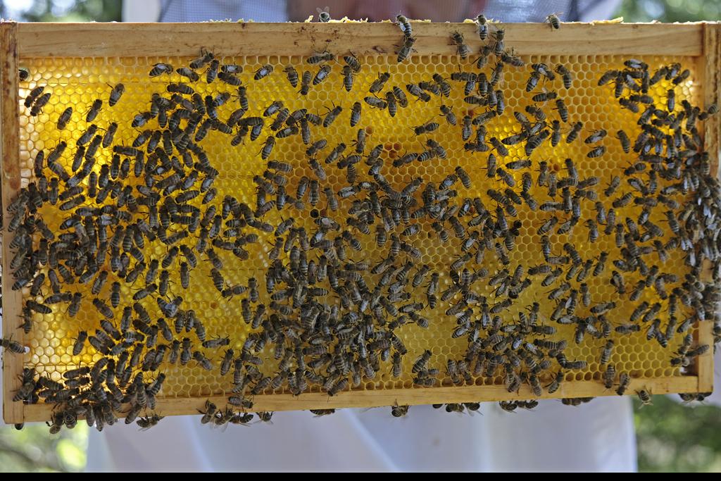 Honigbienen auf einer Wabe (Foto: Karlheinz Steinberger)