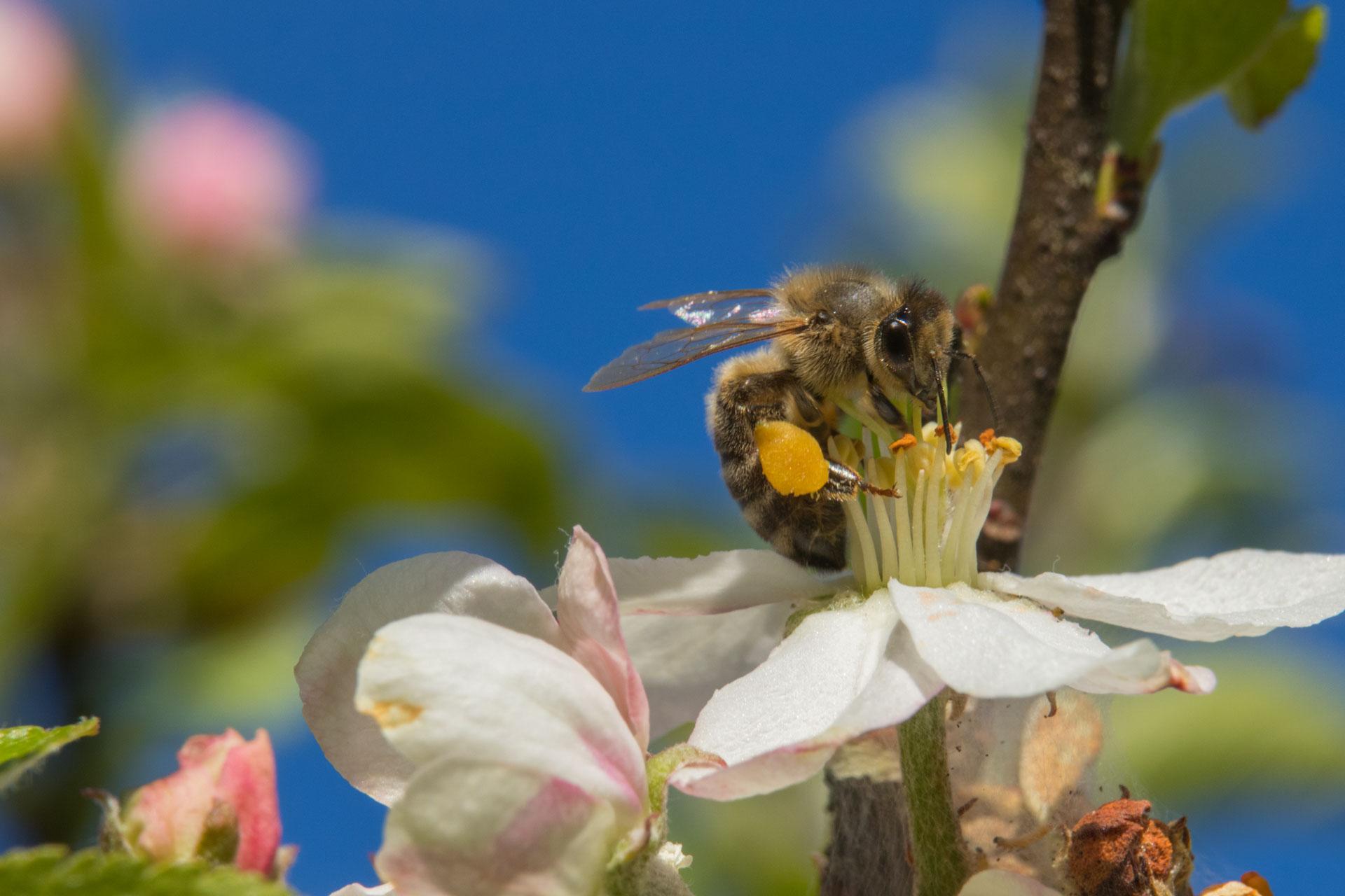 Honigbiene mit Pollensäckchen auf einer Obstblüte (Foto: Klaus Rühling)
