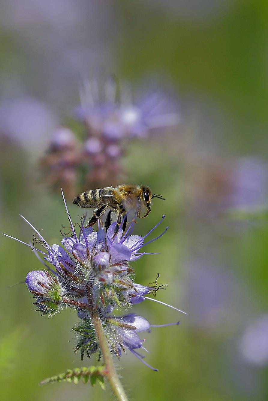Honigbiene auf einer Bienenfreund-Blüte (Foto: Karlheinz Steinberger)