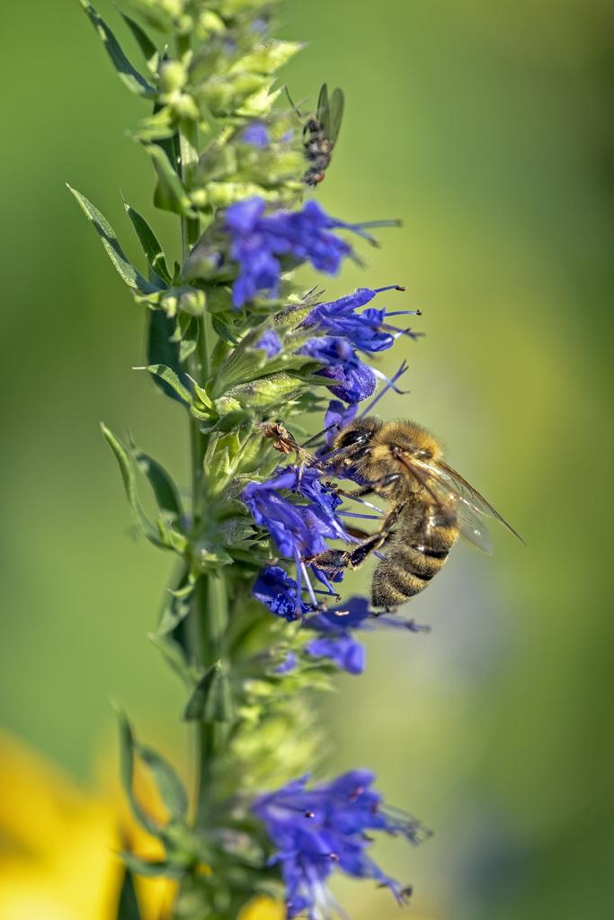Eine Honigbiene sucht Pollen in einer Ysop-Blüte (Foto: Karlheinz Steinberger)