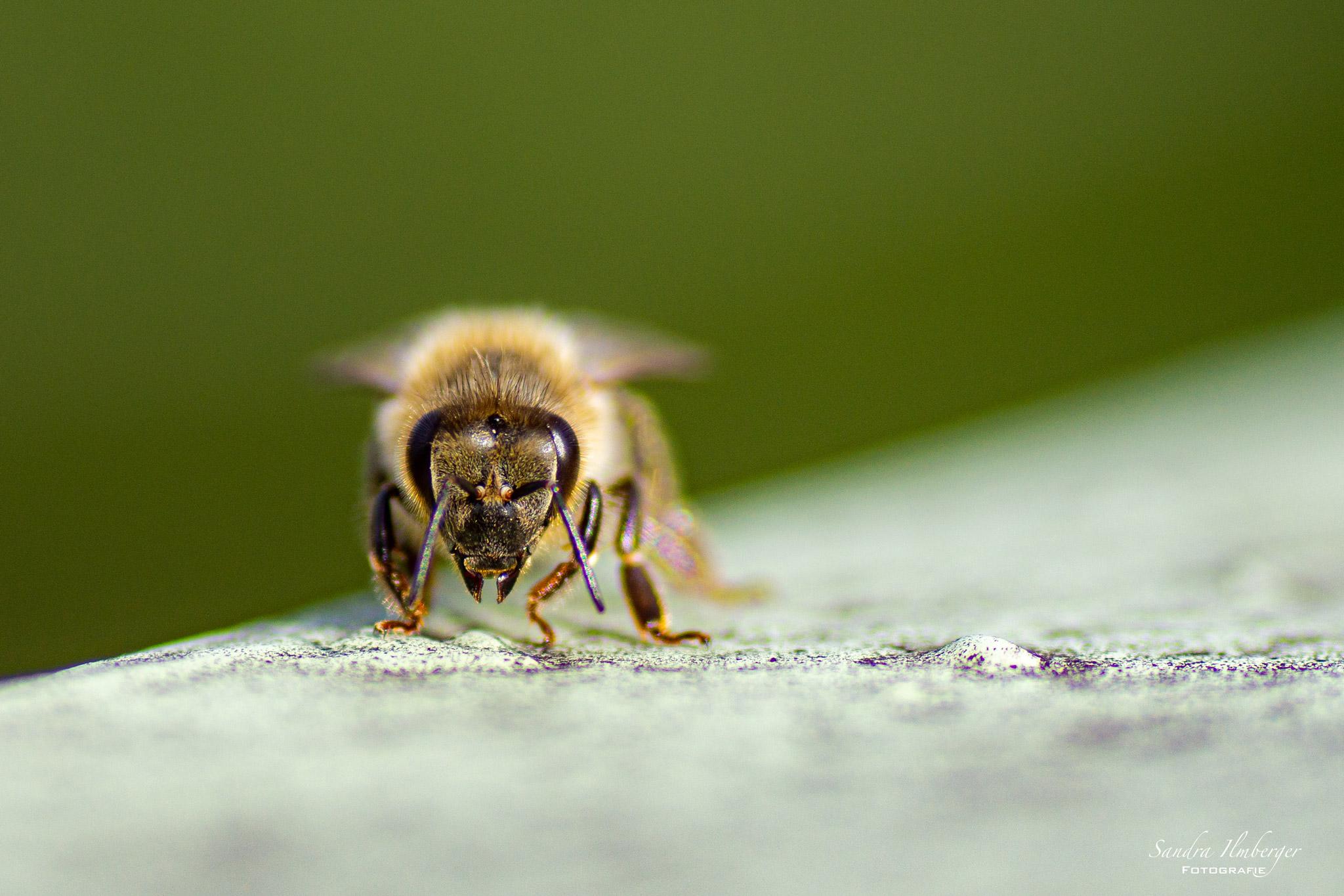 Auge in Auge mit einer Honigbiene (Foto: Sandra Ilmberger)