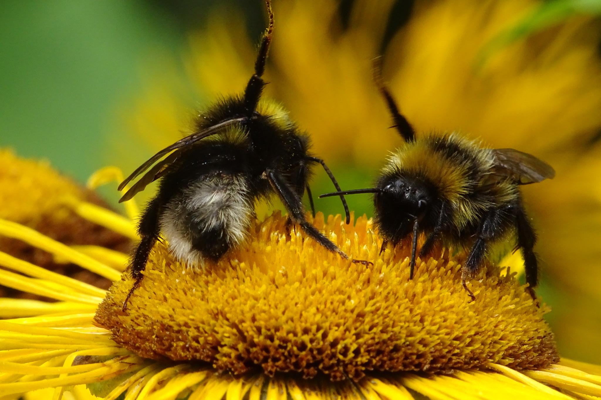 """""""High Five"""" scheinen sich diese emsige Bienchen zu geben (Foto: Hans Werner) 03230_web"""