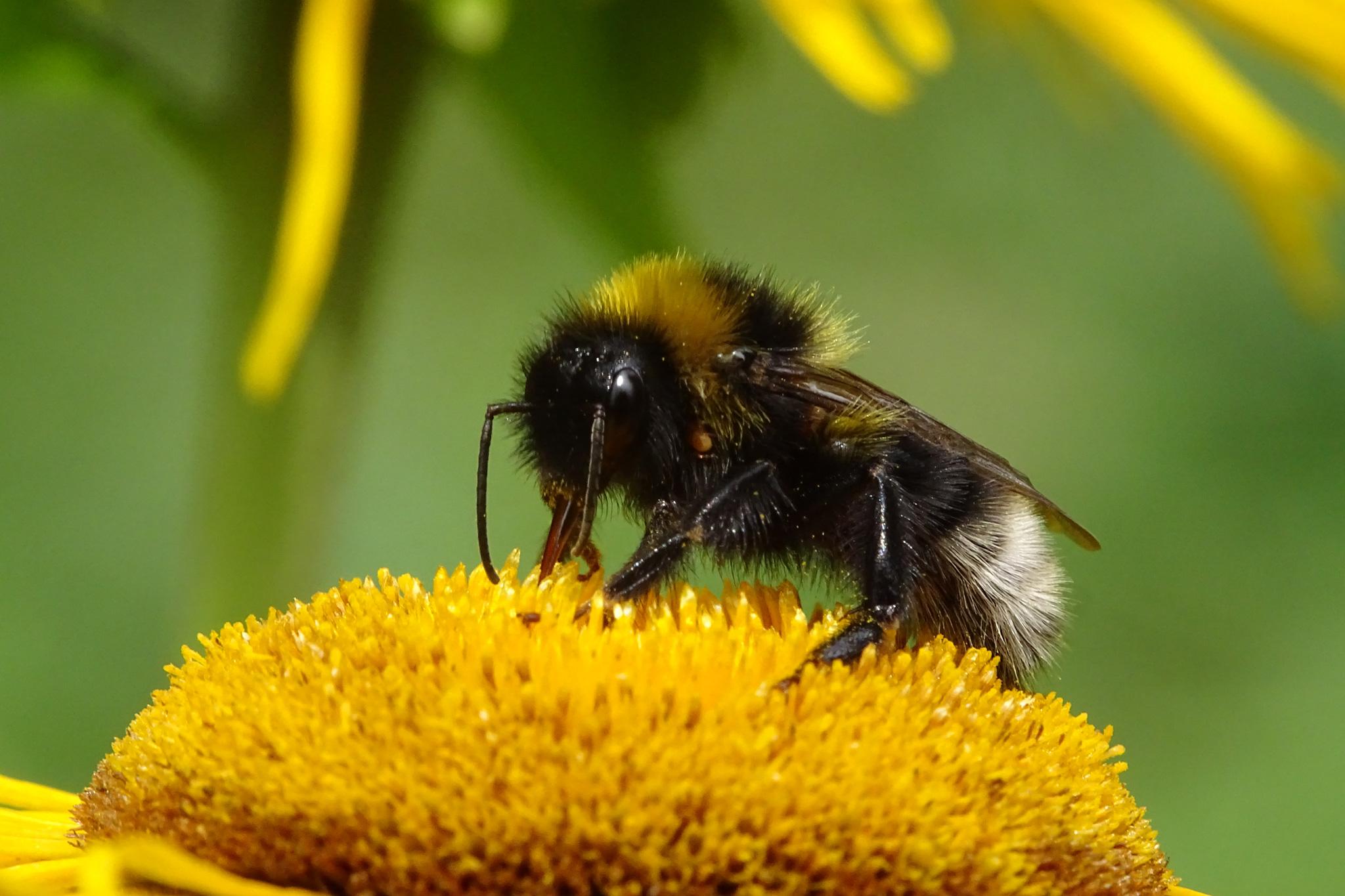 Eine Pelzbiene bei ihrer täglichen Arbeit (Foto: Hans Werner)