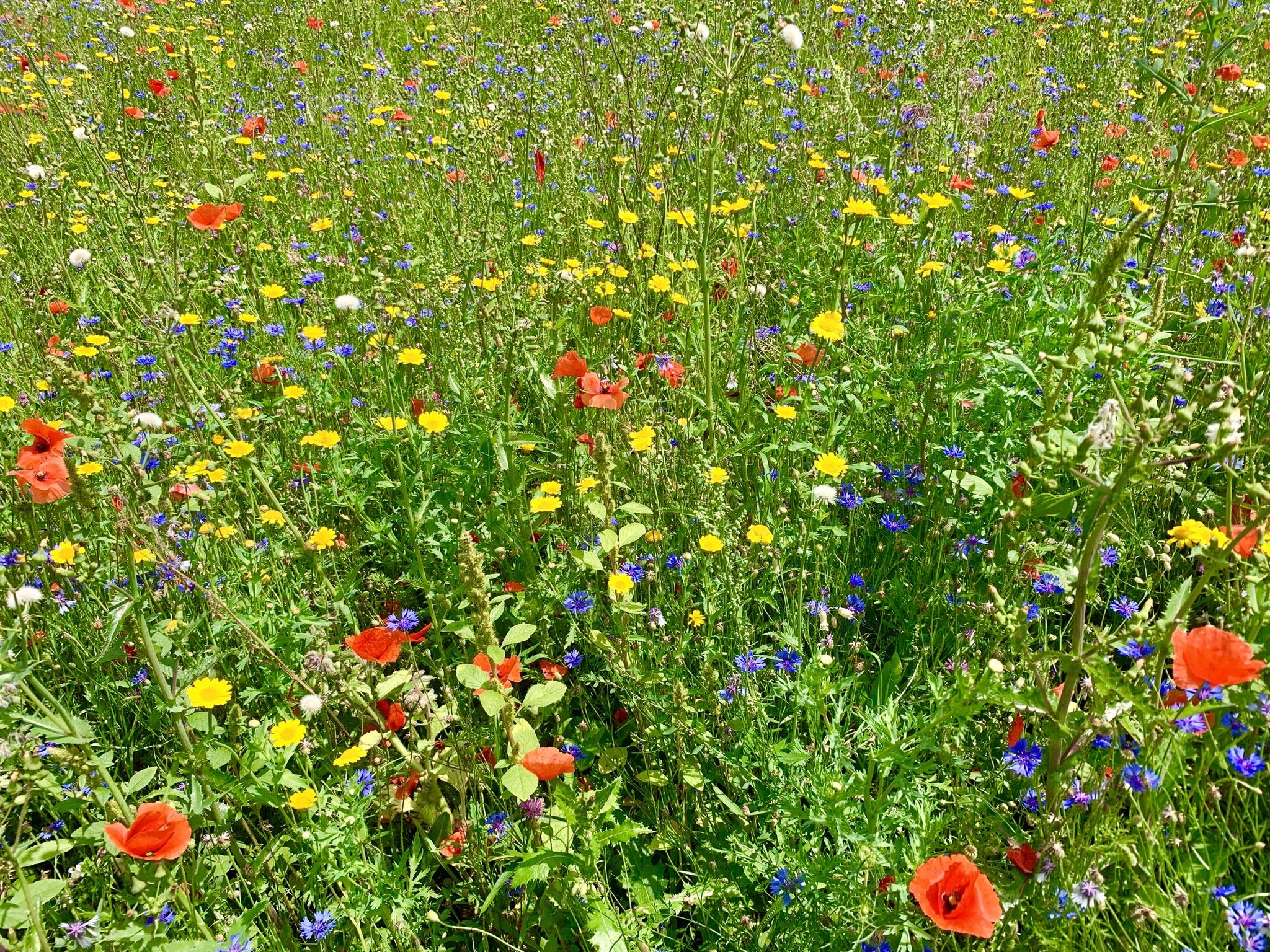 Wildblumenwiesen bieten ausreichend Lebensraum für Wildbienen und andere Nützlinge (Foto: Andy Ilmberger)