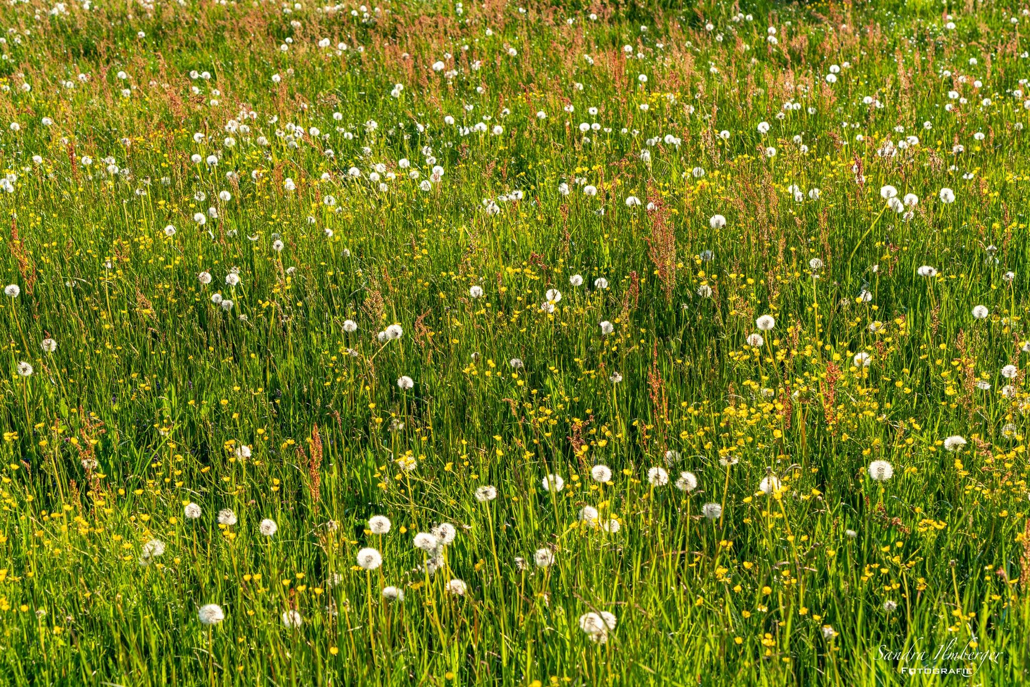 Nistplätze und Lebensraum bieten die Blühfläschen von Wildblumenwiesen (Foto: Sandra Ilmberger)