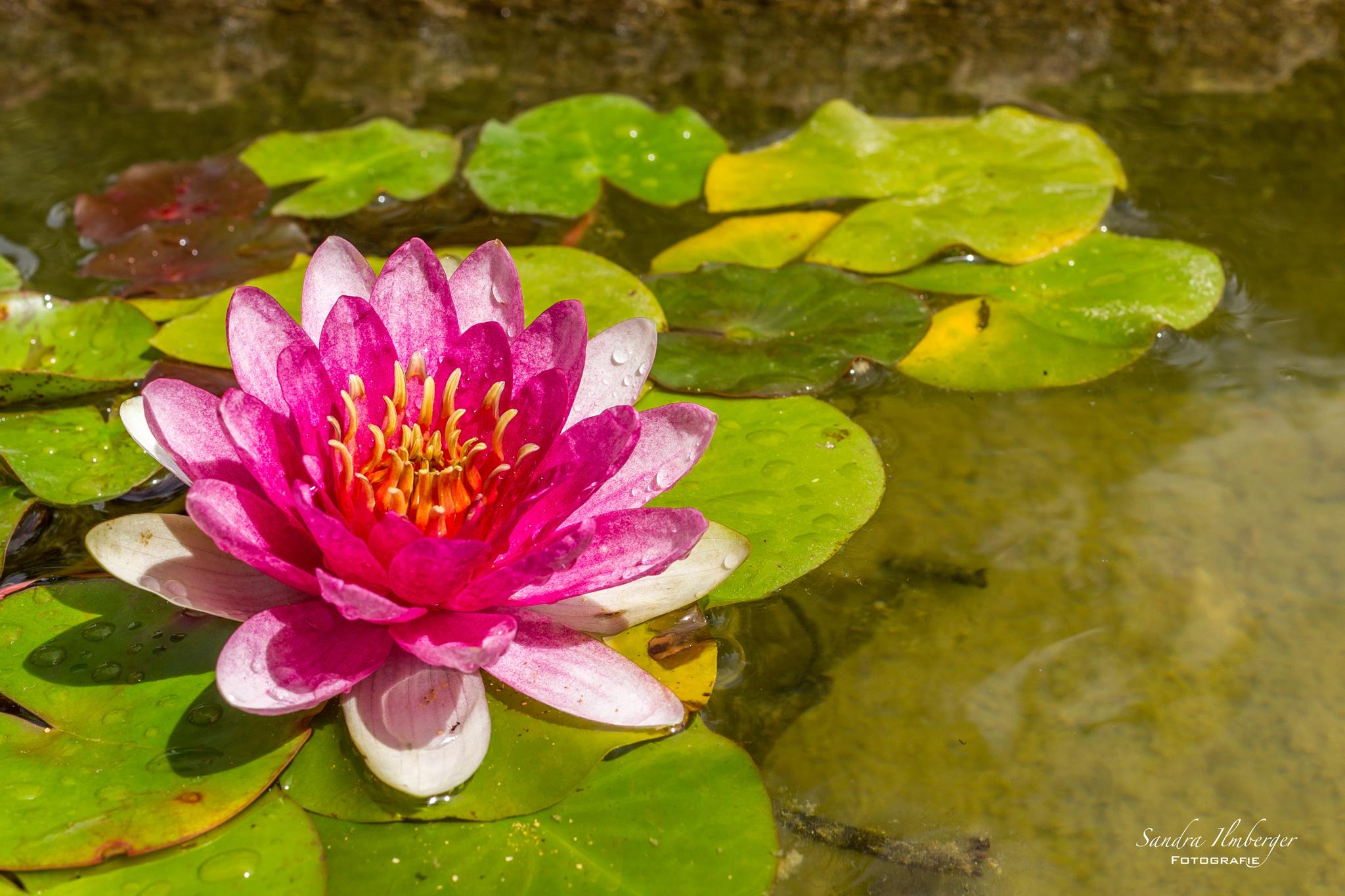 Pink Rose (Foto: Sandra Ilmberger)