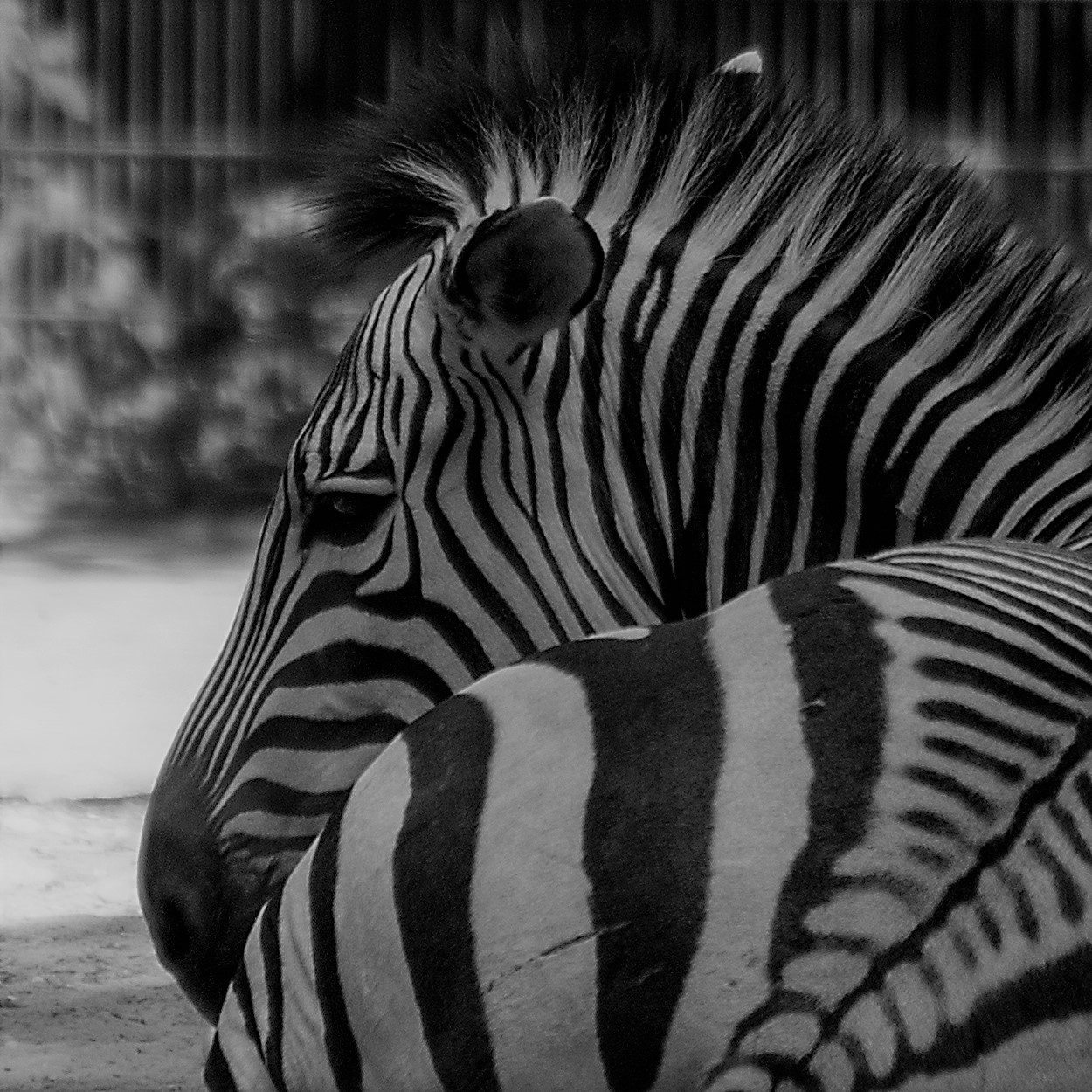 Zebra (Foto: Gisela Moutschka)
