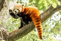 Kleiner Panda (Foto: Andy Ilmberger)