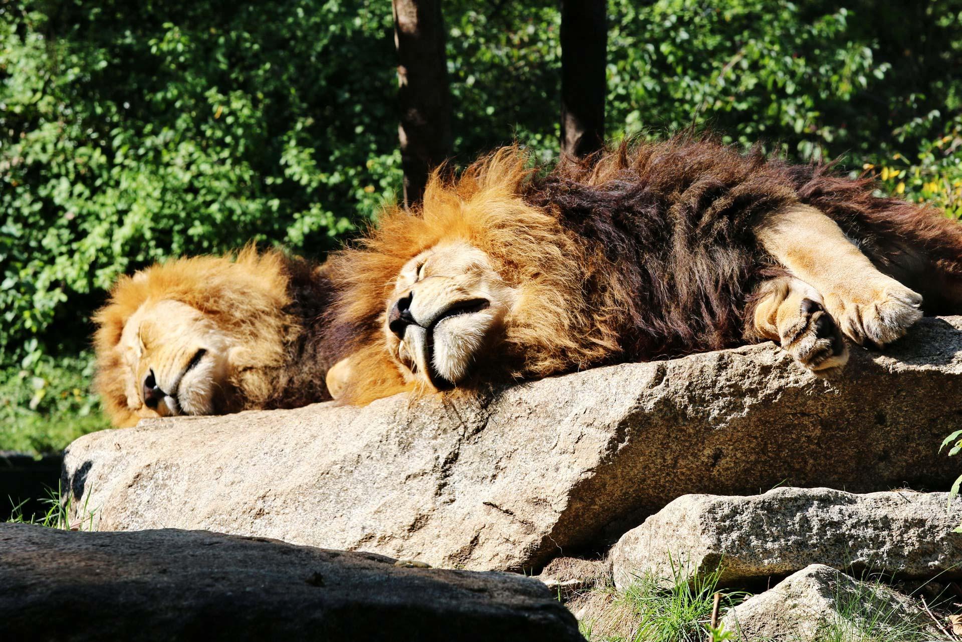 Chillende Löwen von Klaus-Peter Volkmann