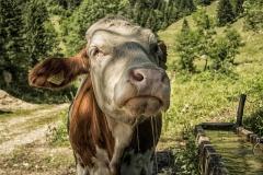 Verliebte Kuh von Andreas Ochsenkühn