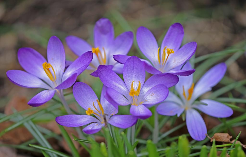 Krokusblüten von Karlheinz Steinberger