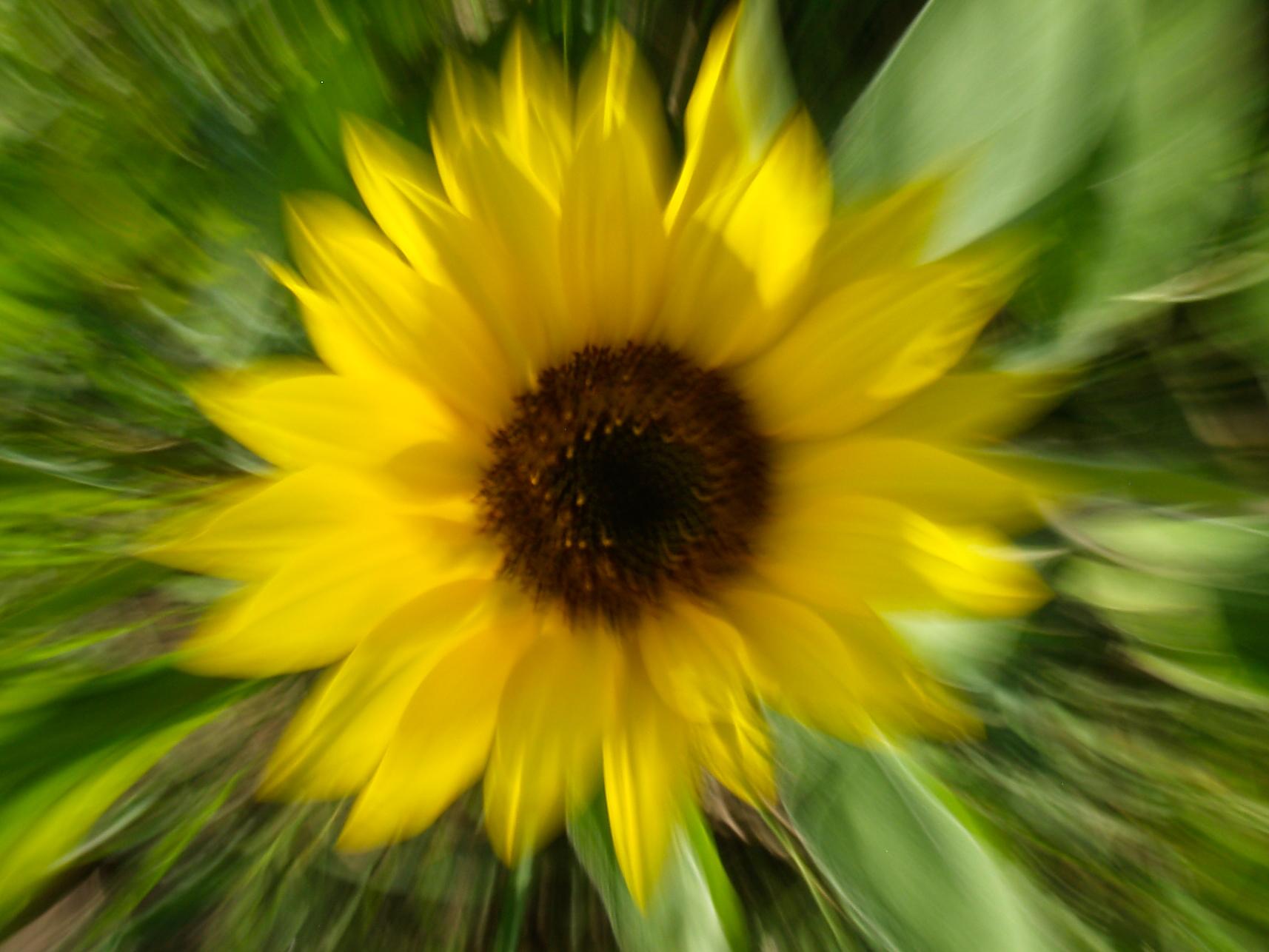 Sonnenblume von Steffi Linke