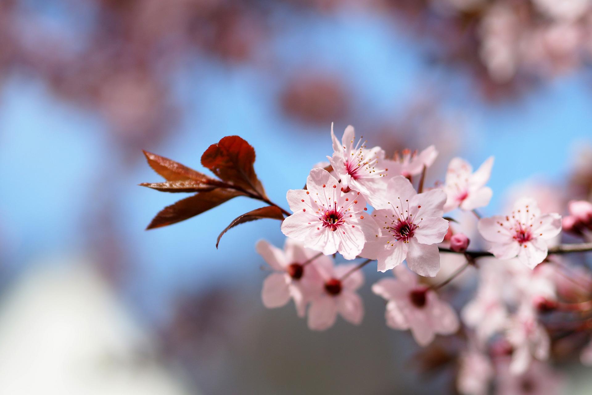Kirschblüten von Tanja Schulte