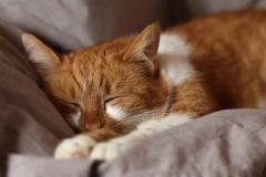 Schafende Katze von Alois Komenda